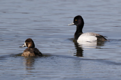 female and male Lesser Scaup Trempealeau National Wildlife Refuge spring 2013