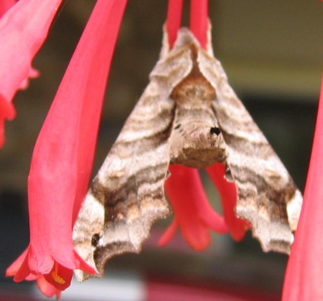Moth from top
