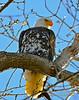 Leucistic Bald Eagle