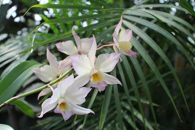 appleblossom orchid