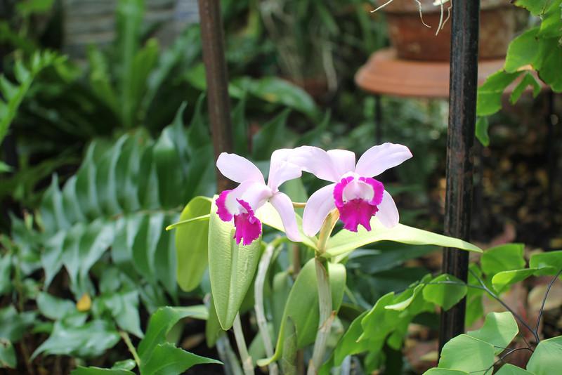 Cattleye Crownfox orchid