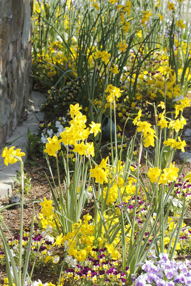 daffodils among the violas