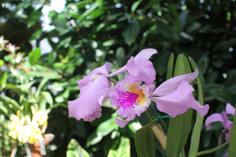 cattleye mossiae orchid