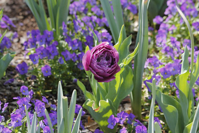blue spectacle tulip  among sorbet icy blue violas