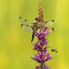 Vierfleck-Libelle (Libellula quadrimaculata)