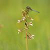 Kleine Blaupfeil (Orthetrum coerulescens) auf Sumpf-Stendelwurz (Epipactis palustris)