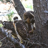 Juvenile Red-tailed Hawks at Huntsville Library