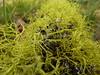 Letharia vulpina - Wolf lichen
