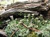 Cladonia fimbriata - Trumpet Lichen