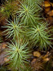 Giant Moss (Dawsonia superba)