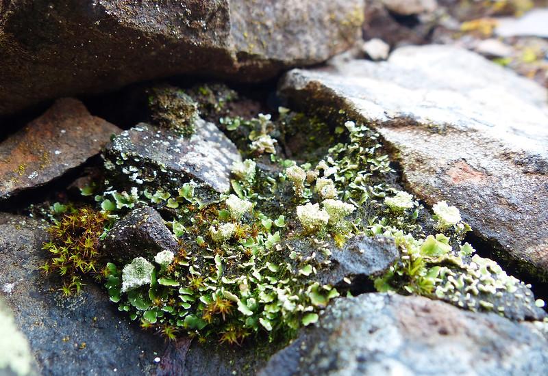 Cladonia species - possibly pyxidata