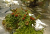 Lobaria pulmonaria - Tree Lungwort - fertile