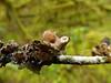 Nephroma helveticum subsp. sipeanum