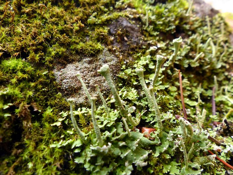Cladonia species - possibly coniocraea