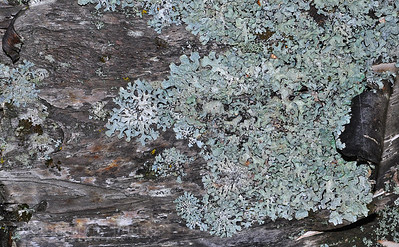 Blue Green Lichens