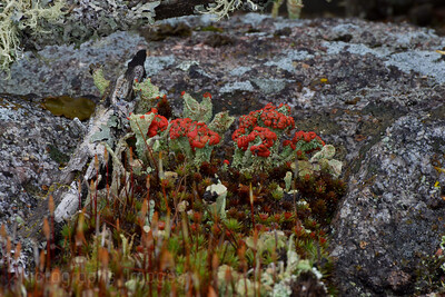 British Soldiers, A Red Lichen from the Cladoniaceae Family