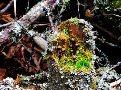 Mushrooms Growing on the Stump