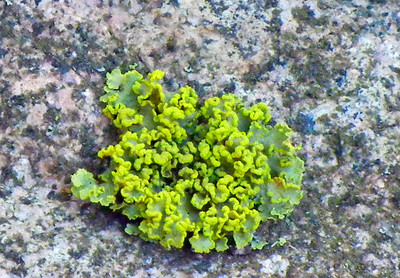 Lichen Growing On Granite