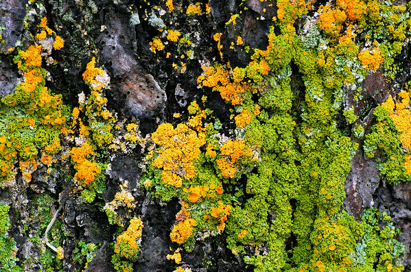Lichens Growing On Pheloderm