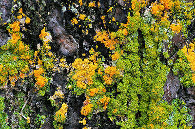 Lichens and Tree Bark