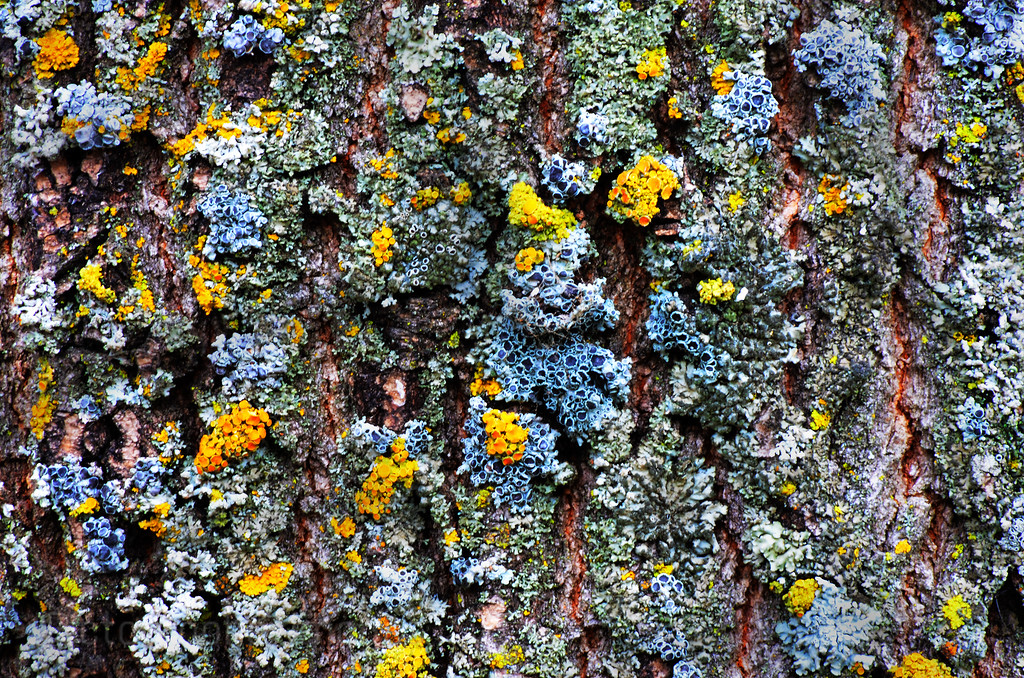 Lichens On Bark