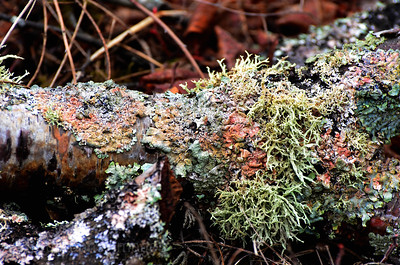 Lichens Decaying The Dead Wood
