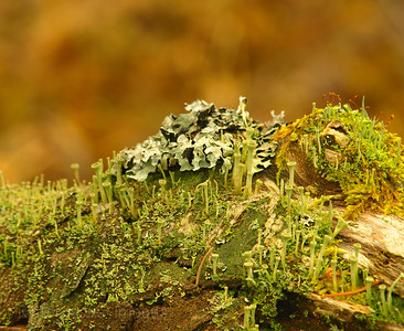 Mosses and lichens growing on old wood