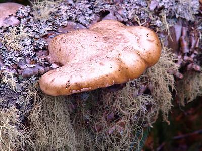 Bracket Fungi.
