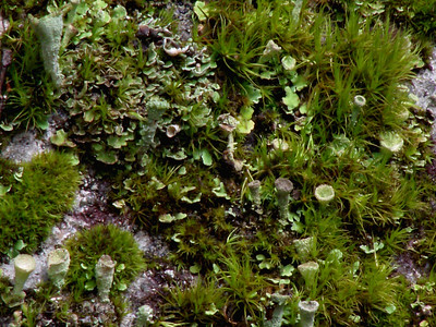 Green Lichens & Mosses