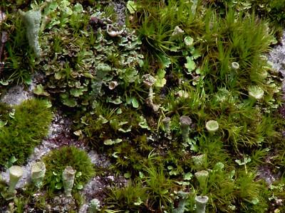 Green Lichens & Mosses
