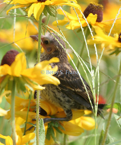 meadowlark, eastern