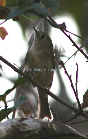 kinglet, ruby-crowned