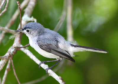 gnatcatcher, blue gray