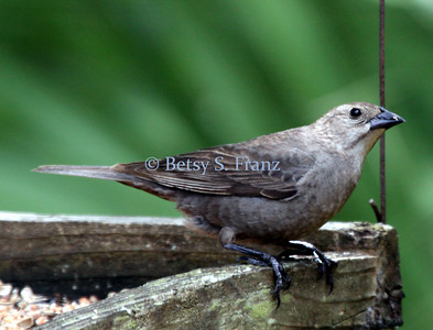 Brown headed cowbird, female
