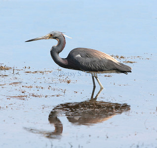 heron, tricolored