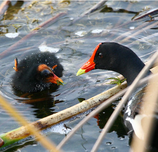 Moorhen, common