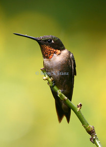 hummingbird, Ruby throated