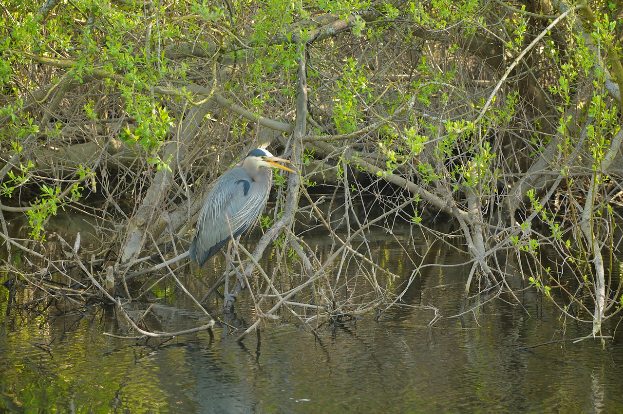 A Great Blue Heron sitting in some brush along the Sammamish River.