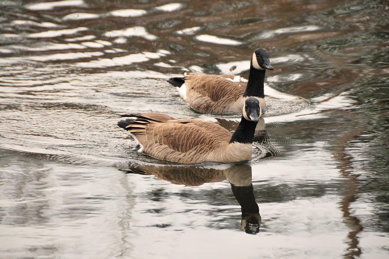 Sammamish River, Canada Goose