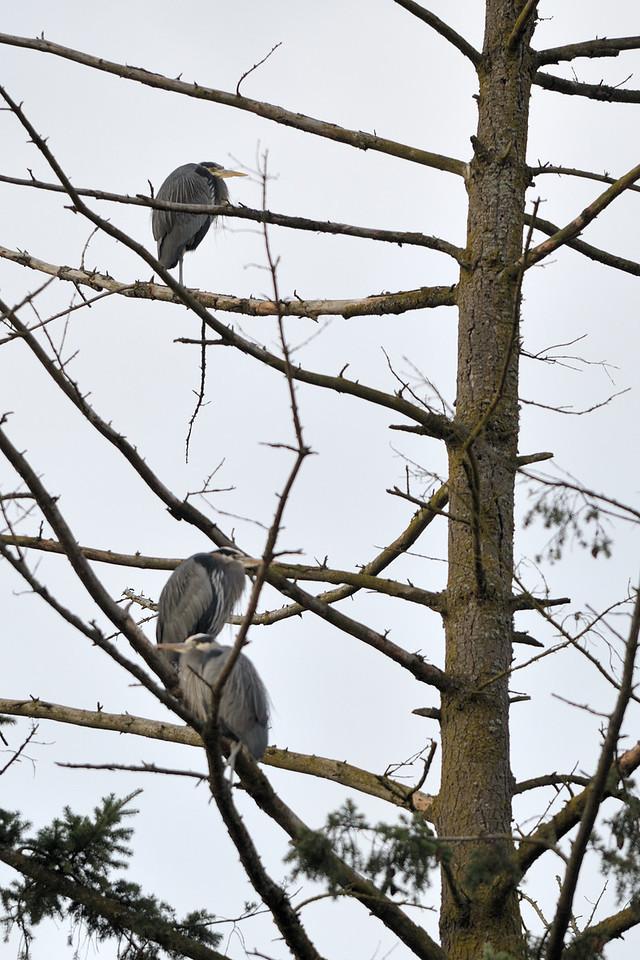 Great Blue Heron, Sammamish River