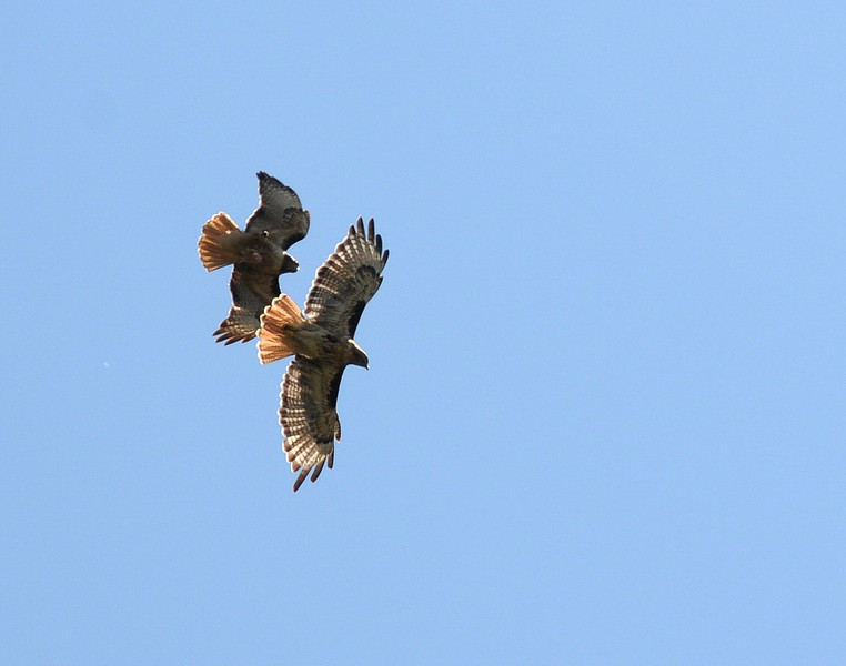A pair of Red-Tailed Hawks flying in formation.