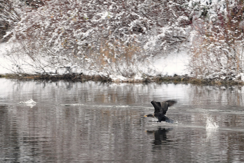 A Double-crested Cormorant takes flight on the Sammamish River in Redmond, WA.
