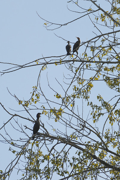 Some Double-crested Cormorants hanging out in a tree.  I've seen over 30 in this tree early in the morning.