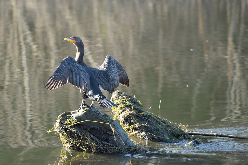 Double-Crested Cormorant, Sammamish River