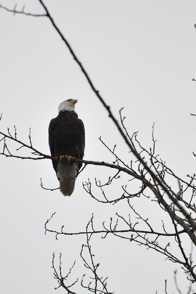 A Bald Eagle studies a field next to the river near Redmond, WA.