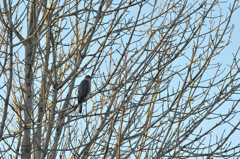 A beautiful Cooper's Hawk takes a break near the Sammamish River in Redmond, WA.