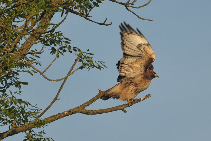A Red-Tailed Hawk prepares to take flight.