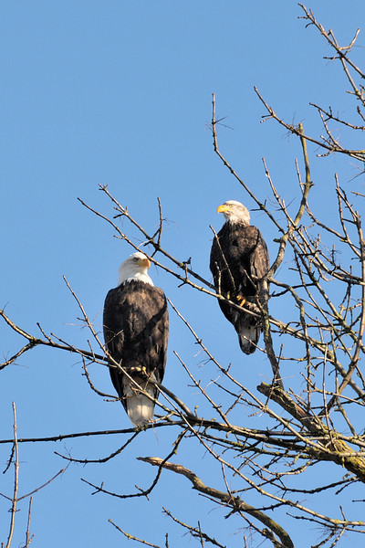Two Bald Eagles resting along the Sammamish River in Redmond, WA.  Eagles and hawks frequent this open field along the river that will soon be taken over by a 15,000 square foot home and a tree farm.