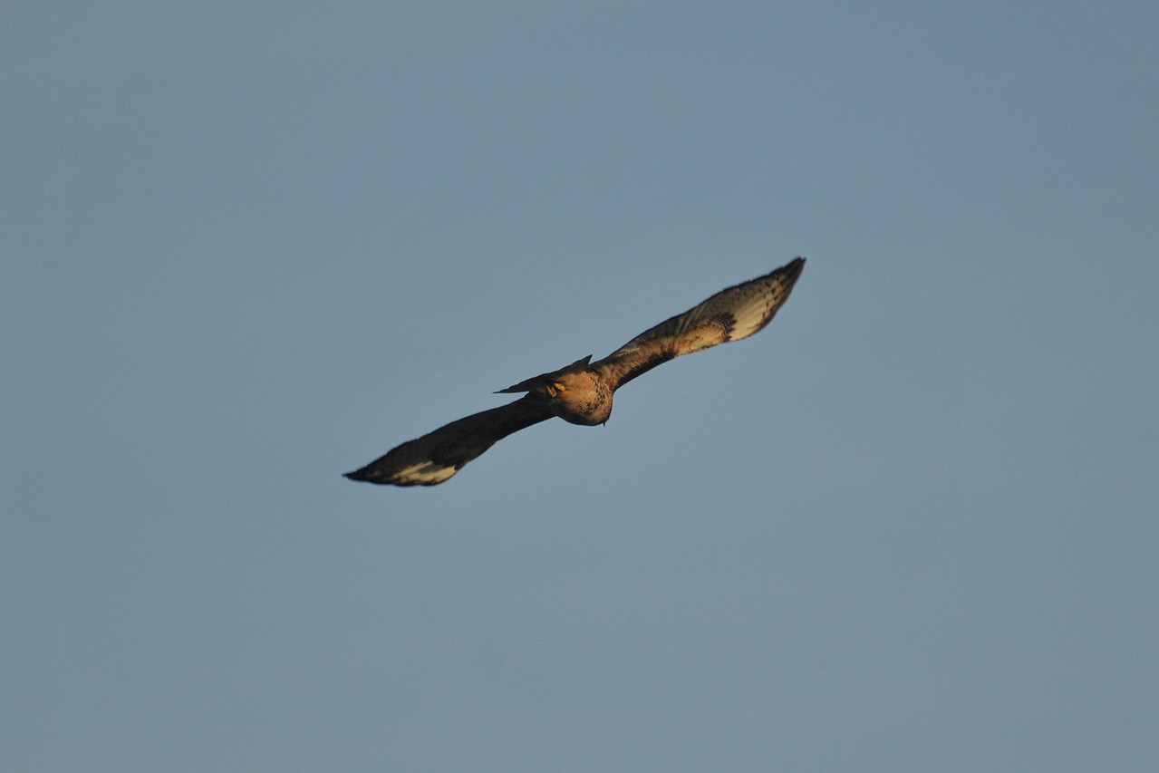 A Red-Tailed Hawk soars along the river.