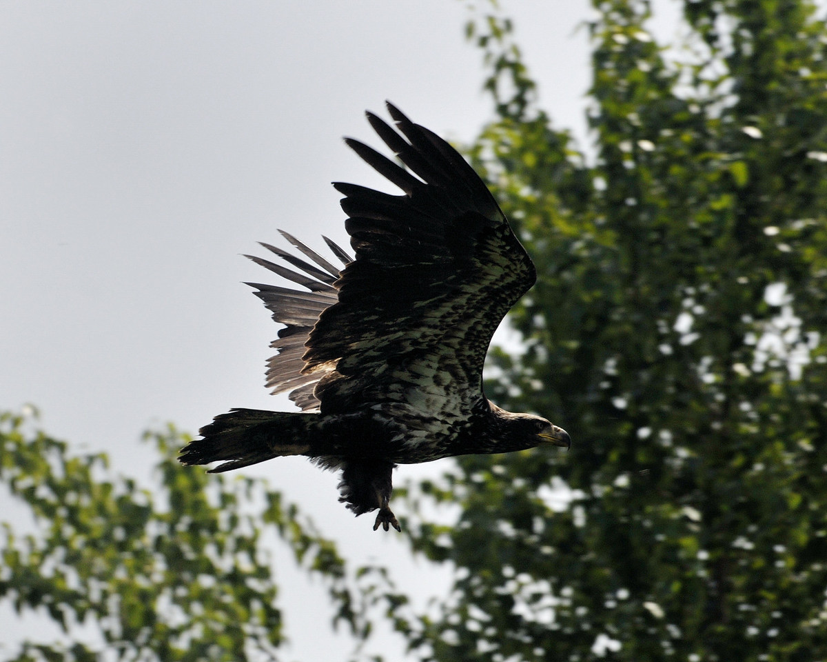 An immature Bald Eagle soars over the Sammamish River in Redmond, Washington.